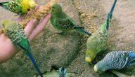 أشهر طيور الزينة في العالم