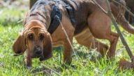 أهم ميزات كلاب بلودهاوند