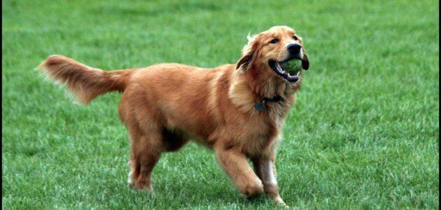 صفات كلب الجولدن ريتريفرز