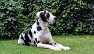 صفات الكلب الدانماركي الضخم