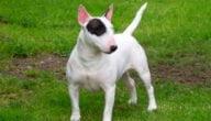 صفات كلاب بول ترير