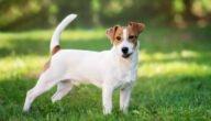 صفات كلاب جاك راسل تيرير