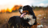 صفات كلاب جبل البرنيز
