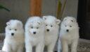 صفات كلاب سامويد