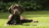 صفات كلب بوينتر الألماني قصير الشعر
