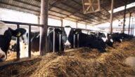 مشروع انتاج اللحوم الحمراء في تركيا