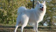 أهم ميزات كلب الأسكيمو الأمريكي