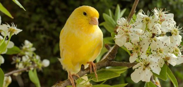 هل تجارة طيور الكناري مربحة
