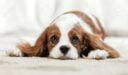 صفات كلب فارس الملك شارل