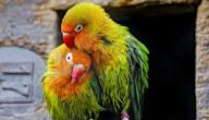 تجارة وتربية طيور الحب بشكل صحيح