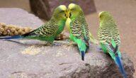 دراسة جدوى مشاريع عصافير الزينة