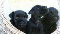 ميزات كلب شناوتسر منمنم