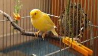 تجارة وتربية طيور الكناري